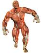 Muskelaufbau eines Kraftsportlers