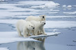Polar Bear & Yearling Cubs