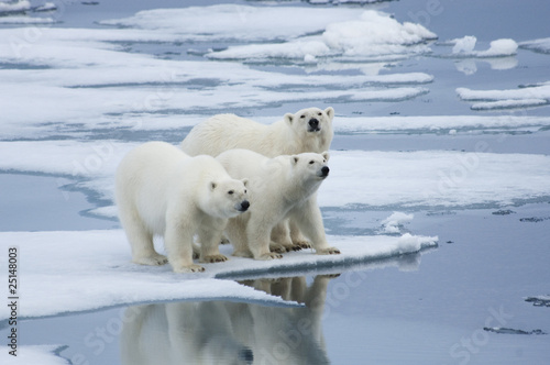 Leinwandbild Motiv Polar Bear & Yearling Cubs