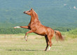 chestnut arabian stallion rearing