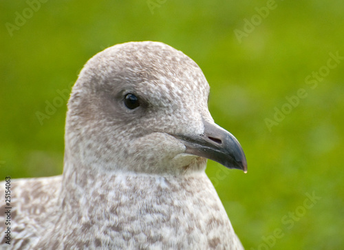 seagull on grass background