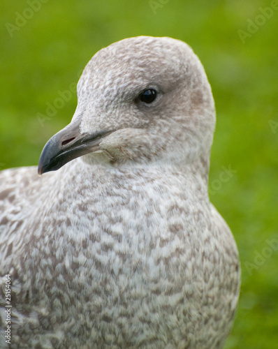 young seagull on grass background