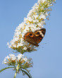 common buckeye butterfly feeds on a white butterfly bush