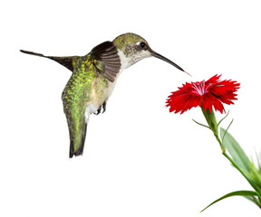 hummingbird floats over a red dianthus; white background