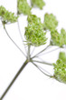 Wiesenbärenklau (Heracleum sphondylium) Grüne Samen vor weißem H