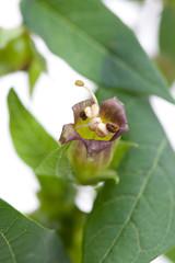 Tollkirsche (Atropa belladonna) - Blüte und Blätter