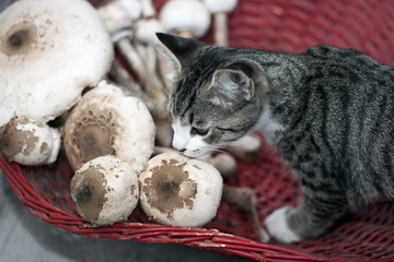 Macrolepiota procera and cat