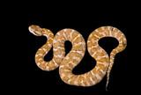 Venomous snake 4 poster