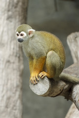 Squirrel monkey, Saimiri sciureus