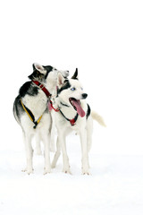 Two Huskys isolated on white