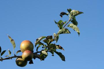 20081008-0087 pommes