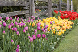 tulips by old fence in garden