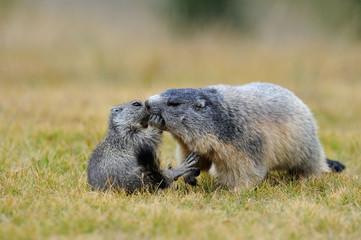 Marmotte giocano