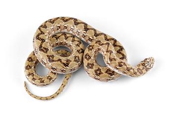 Dwarf beaked snake on white
