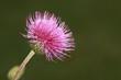Gewöhnliche Kratzdistel (Cirsium vulgare)