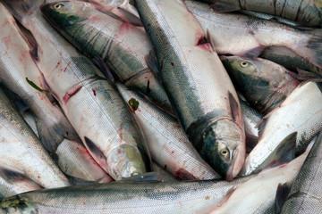 Several freshly caught sockeye salmon