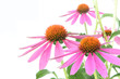 Echinacea for medicine, isolated