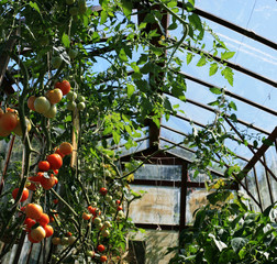 Tomatoes and in greenhouses