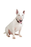 English Bull Terrier, Bully, Gladiator isolated on white poster