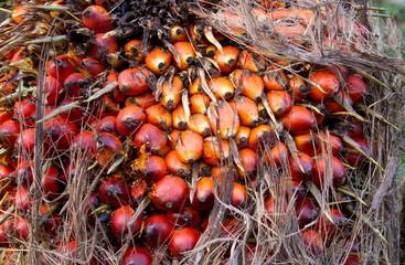 Frucht der Ölpalme