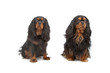 two cavalier king charles dogs (cav, cavalier, cavie)