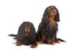 two cavalier king charles dogs (cav, cavalier, cavie)