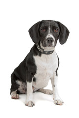 mixed breed (beagle, cocker spaniel) isolated on white