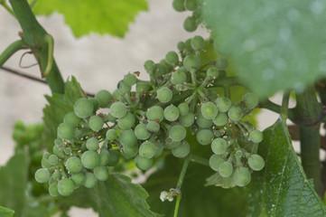 oidium grappe