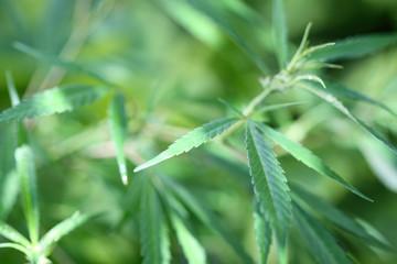 plante de cannabis, chanvre indien, fond blanc