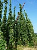 hop garden - Bavaria, Germany (4)