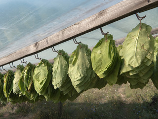 Tobacco Leaves Hanging To Dry