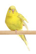 Yellow budgie on branch