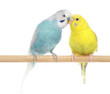 Pair of Budgerigars