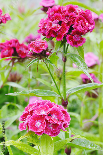 Pink Sweet William flowers