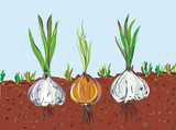 Garlic and onion in the soil