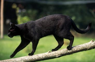 chat noir en équilibre sur une branche fine