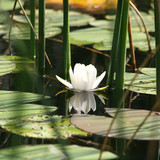 European White Waterlily on a surface of a lake
