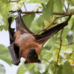 Flughund - Flying fox - Fruit bat