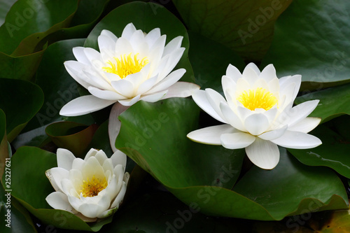 White water lily - 25227621