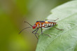 Cimice - (Dysdercus albofasciatus)