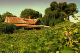 Decaying house amid field of kudzu poster
