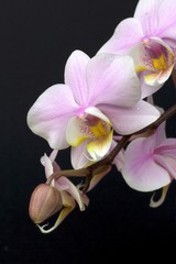 A minature orchid spray.