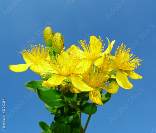 Herb - Klamath weed -  St. John's wort on blue background
