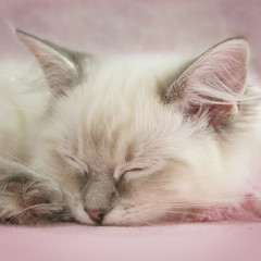 ragdoll kitten asleep