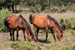 New Forest Ponies grazing on heather