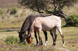 Roan & Chestnut New Forest ponies