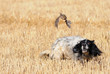 canvas print picture - English setter hunting quail