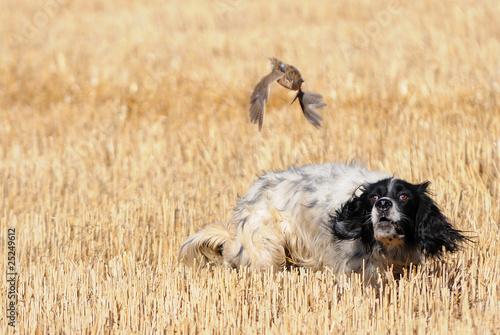In de dag Jacht English setter hunting quail