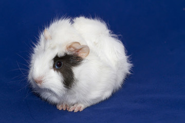 Odorable guinea pig