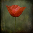 Single poppy_textured